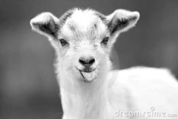 funny-goat-19062606-picsay